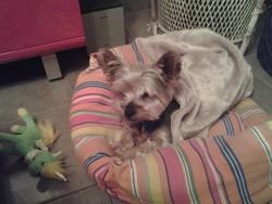 Dior, chien Yorkshire Terrier