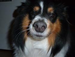 Dior, chien Berger des Shetland