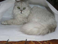 Dior, chat Persan