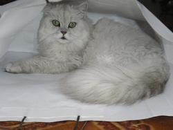 Dior, chat Persan