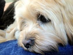 Diora, chien Lhassa Apso