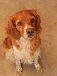 Dipsie, chien Épagneul breton