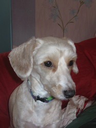 Dipsy, chien Caniche