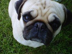 Dipsy, chien Carlin