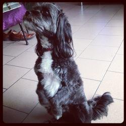 Dipsy, chien