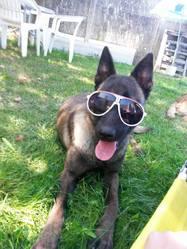 Dipsy, chien Berger belge