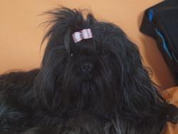 Dipsy, chien Shih Tzu