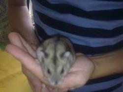 Dais'Y, rongeur Hamster