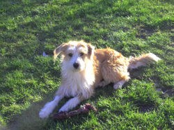 Dipsy, chien Jack Russell Terrier