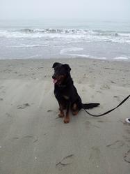 Dirka, chien Beauceron