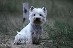 Dirsty D'Ermitage Des Petits Prés, chien West Highland White Terrier