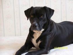 Ariane, chien Labrador Retriever