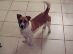 Disco, chien Jack Russell Terrier