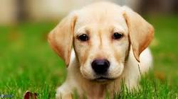 Disco, chien Labrador Retriever