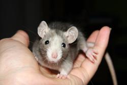 Disney, rongeur Rat
