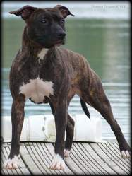 Distinct Origins Joyce, chien American Staffordshire Terrier