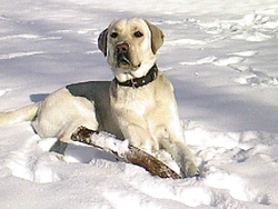 Diuck, chien Labrador Retriever