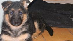 Diva, chien Berger allemand