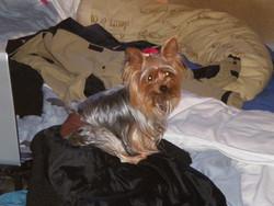 Diva, chien Yorkshire Terrier