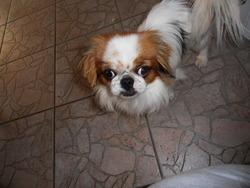 Diva, chien Pékinois