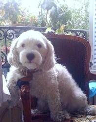 Diva, chien Bichon bolonais
