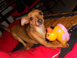 Diva, chien Pinscher