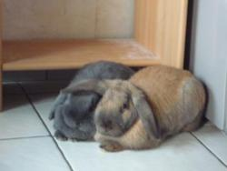 Diva Et Sony, rongeur Lapin