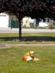 Diva, chien Labrador Retriever