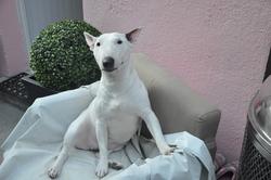 Diva, chien Bull Terrier