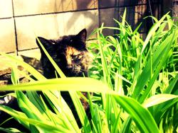 Diva, chat Gouttière