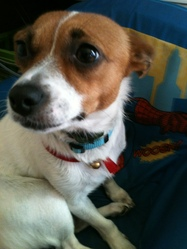 Diva, chien Jack Russell Terrier