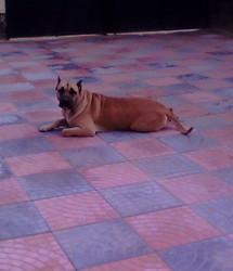 Diva, chien Cane Corso