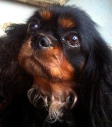 Diva, chien Cavalier King Charles Spaniel