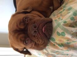 Diva, chien Dogue de Bordeaux
