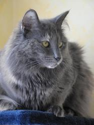 Diva Blue Du Valmont Halatta, chat Norvégien