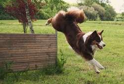 Diva De La Croix D'Atal, chien Berger australien