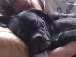 Divine, chien Cane Corso