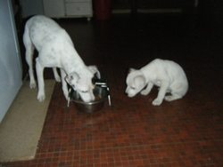 Divine, chien Parson Russell Terrier