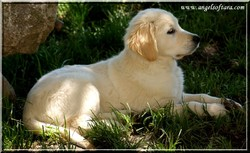 Divinity Del Atrapasunos, chien Golden Retriever