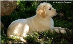 Divinity Del Atrapasunos, chien Golden Retriever