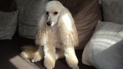 Diwan, chien Caniche