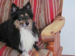 Dixi, chien Berger des Shetland