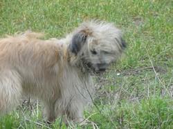 Dixi, chien Berger des Pyrénées