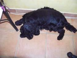 Dixie, chien Cocker anglais