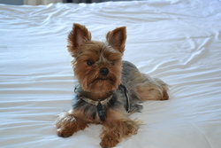 Dixie, chien Yorkshire Terrier