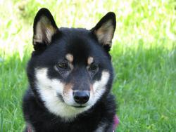 Dixie, chien Shiba Inu