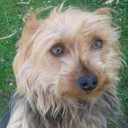 Dixie, chien Yorkshire Terrier