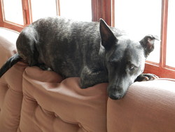 Dixie, chien Bull Terrier
