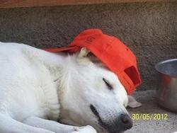 Dixie, chien Berger belge