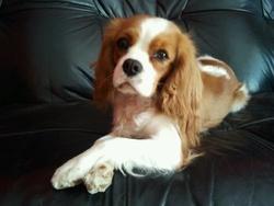 Dixie, chien Cavalier King Charles Spaniel